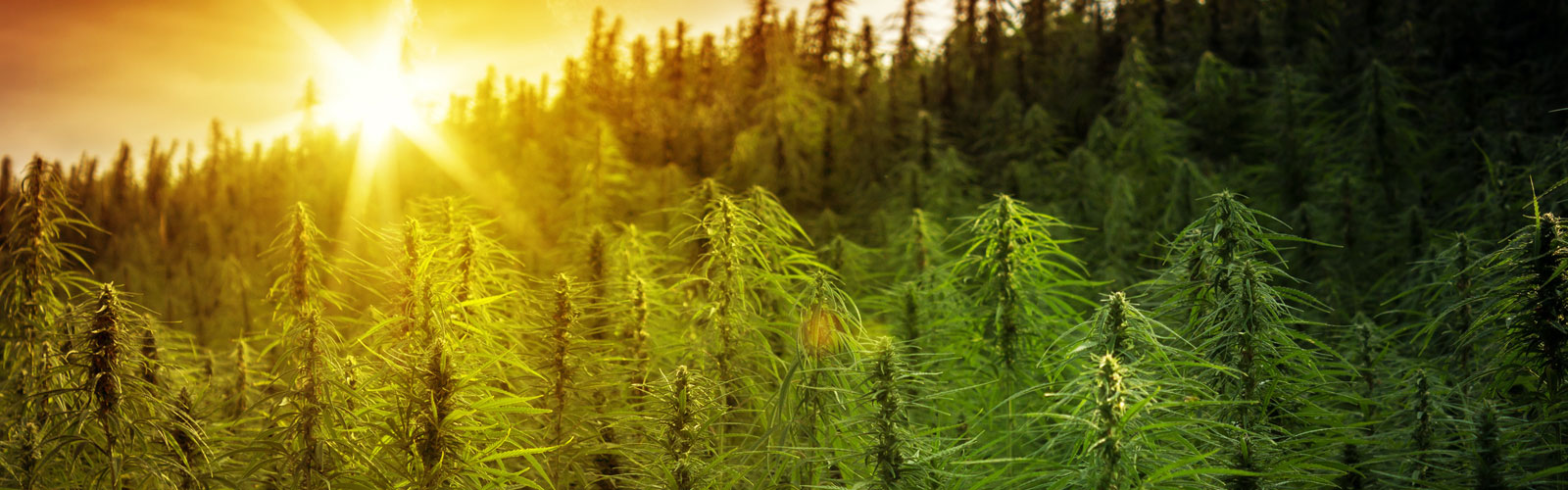 9 Keys to Making Hemp Your Most Profitable Crop