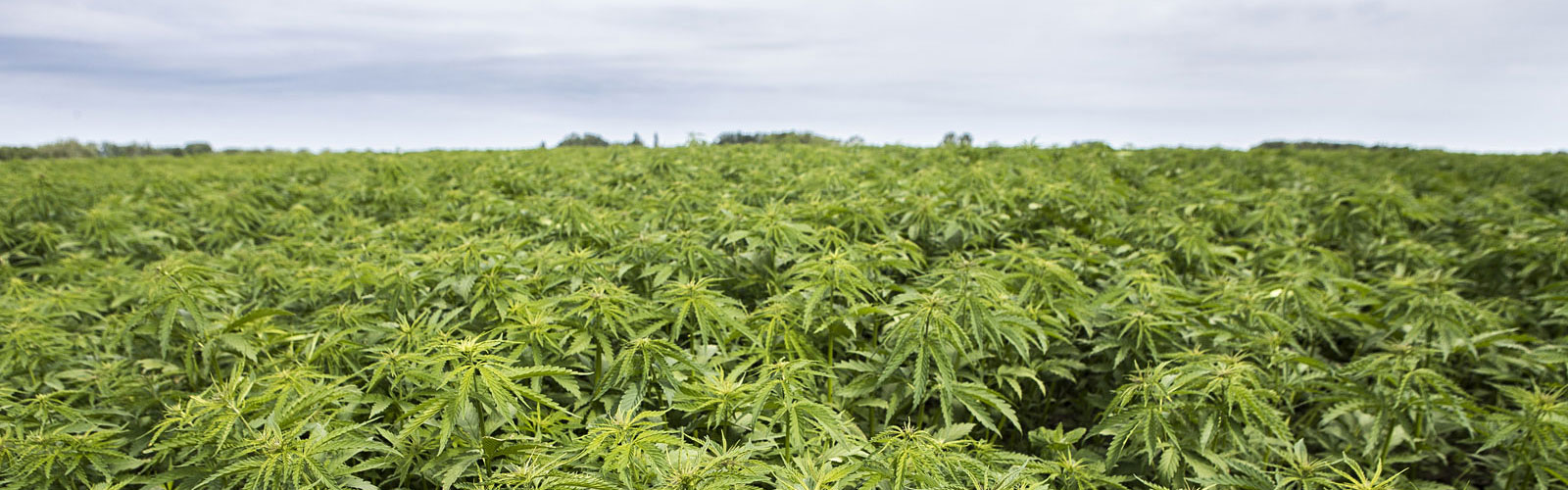 2020 Hemp Projections Are a Mixed Bag