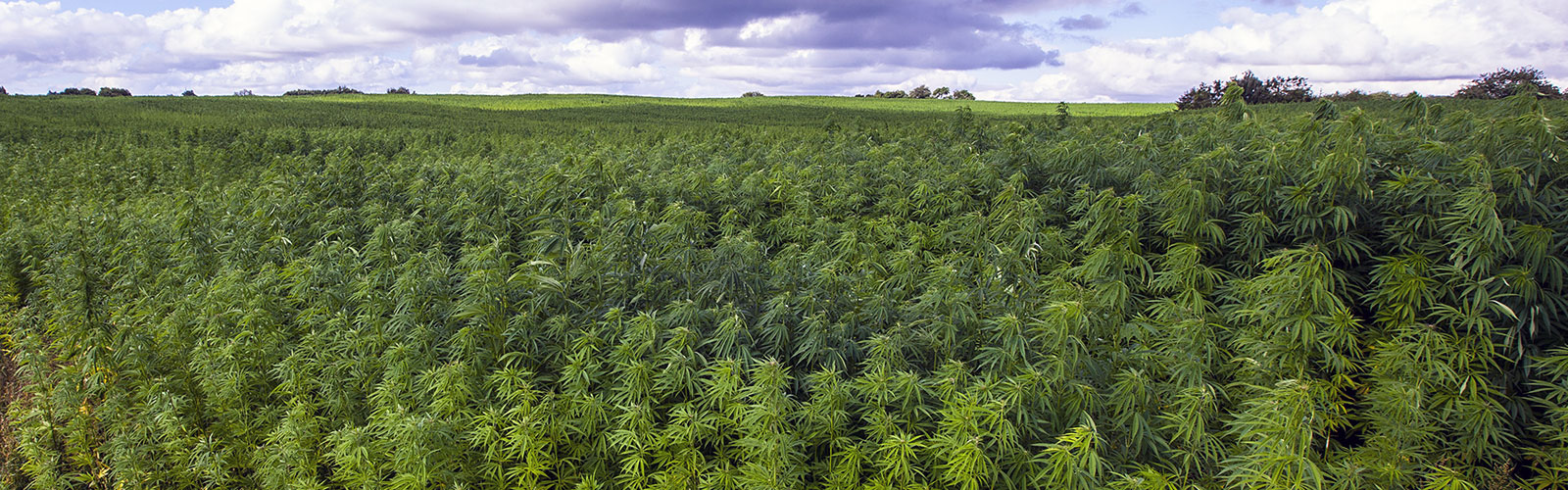 The Beginner's Guide to Hemp Farming for 2020 and Beyond
